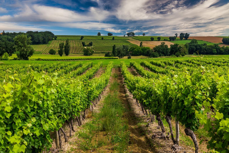 A vineyard in Bordeaux, France